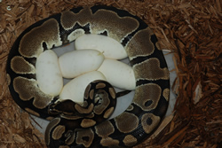 ball python on eggs